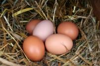fresh-farm-eggs